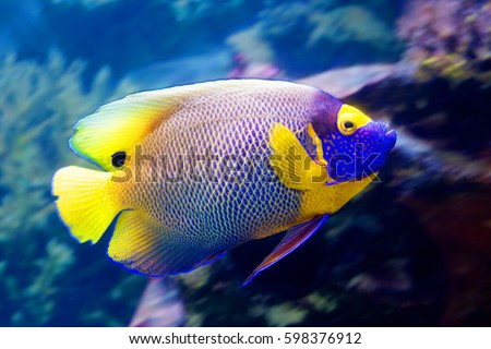 Angel fish a blue-crested The Rather large angel fish, distinguished by a bright blue head with a yellow or orange face and bright, dark blue spot on rear of dorsal fin.