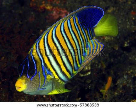 Angel fish at the reef