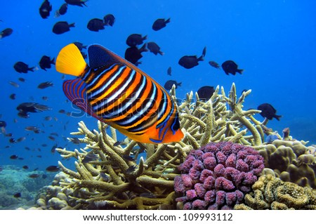 Angel fish (Pygoplites diacanthus) - stock photo
