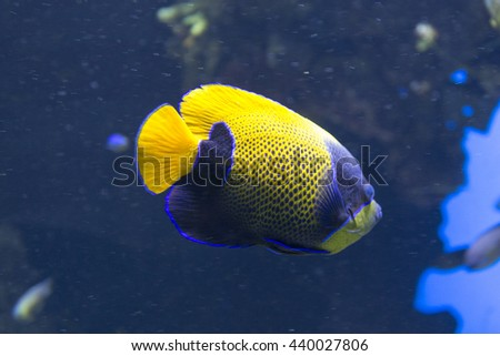 Angel fish swimming close up