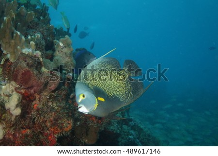 Angel fish underwater