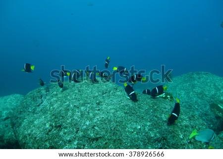Angel fishes underwater - stock photo