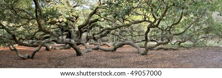 Angel Oak Tree Panoramic, Charleston, South Carolina - stock photo