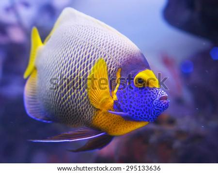 Angelfish blue - stock photo