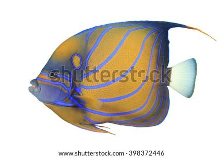 Angelfish fish isolated on white background (Blue-ringed Angelfish) - stock photo