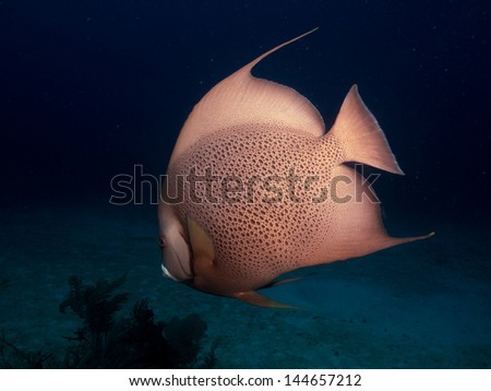 angelfish from the caribbean reefs. - stock photo