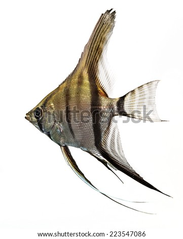 Angelfish (Pterophyllum scalare) isolated on white background - stock photo