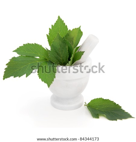 Angelica herb leaf sprigs in a marble mortar with pestle isolated over white background. Archangelica.