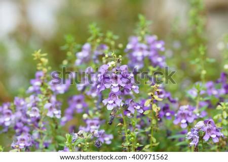 Angelonia goyazensis Benth.  - stock photo