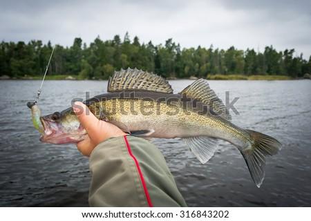 Angler holding september's walleye fishing trophy - stock photo