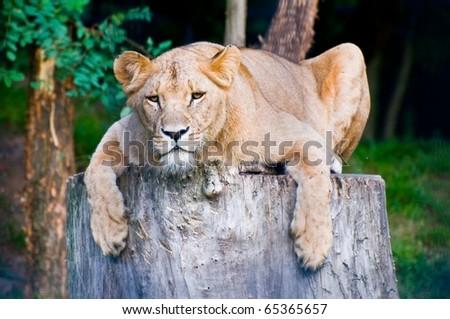 Angola lioness lies on the big stump (Panthera leo bleyenbergi) - stock photo