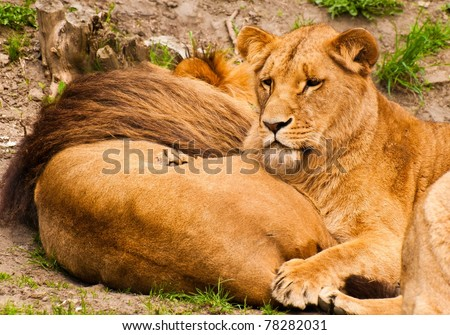 Angola lions - stock photo