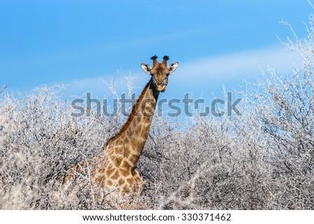 Angolan giraffe (Giraffa camelopardalis) among winter trees in the bushveld of Etosha national park, Namibia - stock photo