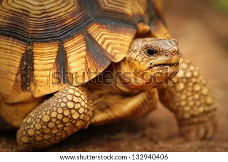Angonoka or Ploughshare Tortoise (Astrochelys yniphora) in Madagascar. This is the most critically endangered tortoise in the world (~500 left in the wild). Extinction predicted in 10 years. - stock photo