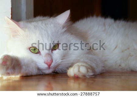 Angora cat lays on wooden marble
