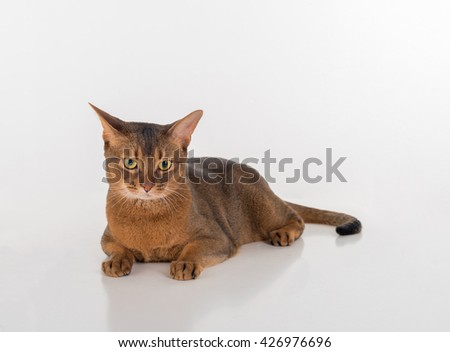 Angry Abyssinian cat lying on the White background with reflection. - stock photo