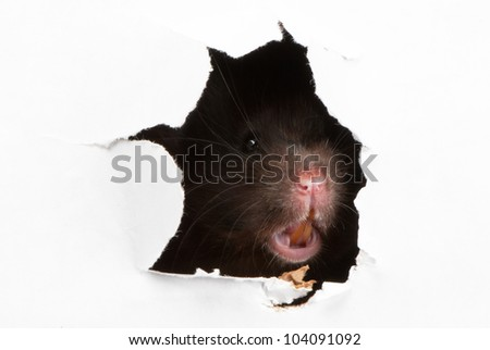 Angry Black Syrian hamster looking through the ragged hole in the paper