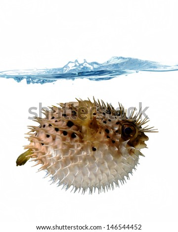 angry blowfish with a stream of water on a white background - stock photo