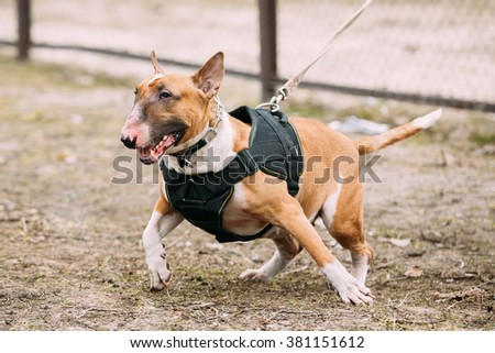 Angry Brown Bullterrier Dog Portrait Outdoors. Other names - Bully, The White Cavalier, Gladiator, and English Bull Terrier. - stock photo