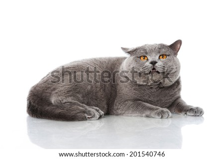 Angry cat isolated on white