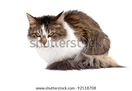 Angry cat isolated over white background