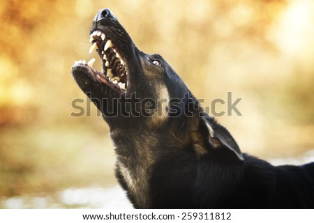 angry dangerous young german shepherd dog puppy barks and defefense background - stock photo