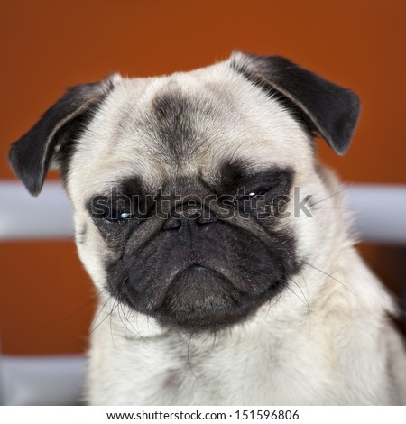 Angry dog, defiant expression. - stock photo