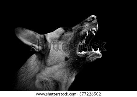 Angry dog on dark background. Black and white image - stock photo