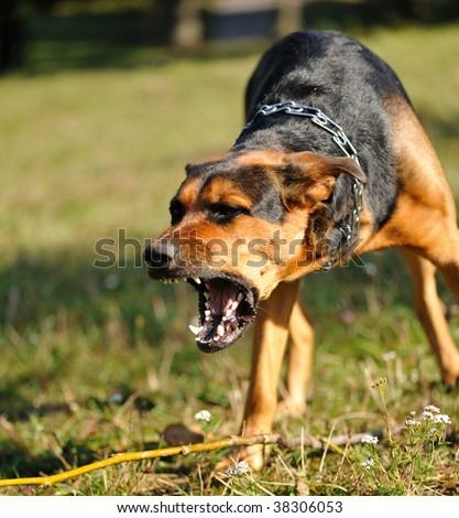 baring teeth dog. angry dog with bared teeth baring l