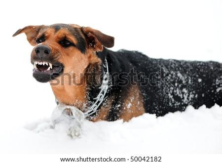 Angry boxer dog teeth - photo#6