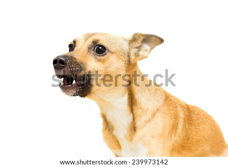 angry doggy on a white background isolated - stock photo