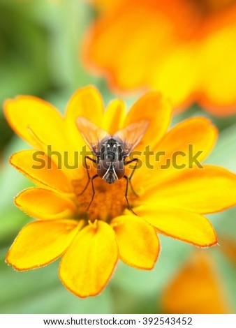 Angry flower bug on the yellow flower.Fly on yellow flower. Bee on yellow flower.