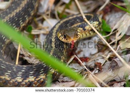 Angry Garter Snake (Thamnophis sirtalis) at Deer Run Forest Preserve of Illinois