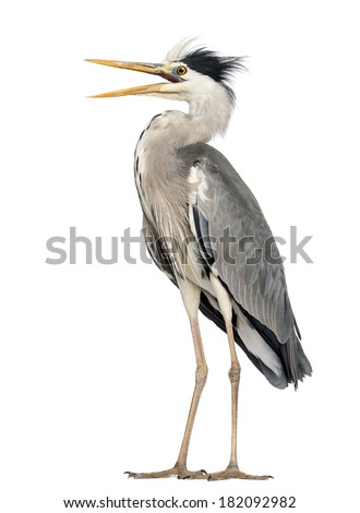 Angry Grey Heron standing, screaming, Ardea Cinerea, 5 years old, isolated on white - stock photo