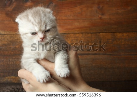 Angry little gray kitten in female hands on a wooden background.