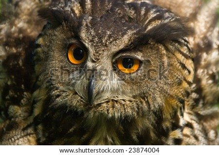 Angry looking eagle owl with all its feathers set up