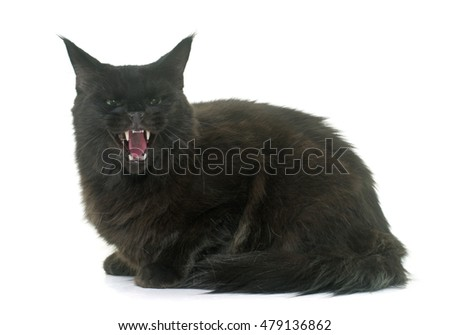 angry maine coon cat in front of white background