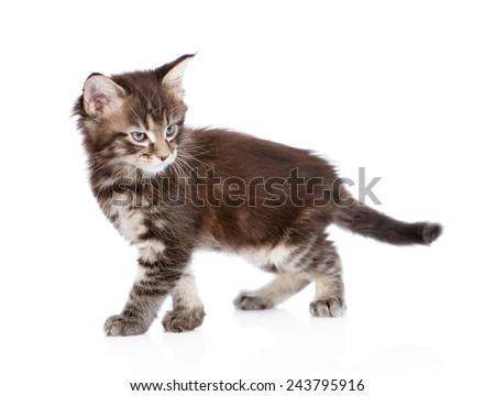 angry maine coon cat walking. isolated on white background