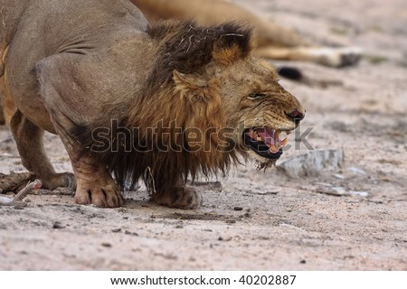Angry male lion taken in greater kruger park - stock photo