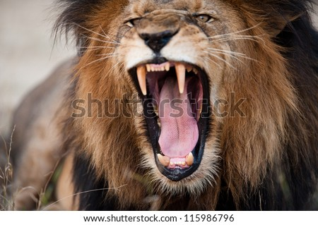 Angry roaring lion, Kruger National Park, South Africa - stock photo