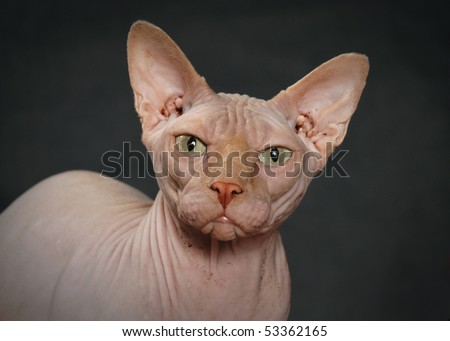 angry Sphynx cat - stock photo