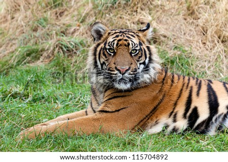Angry Sumatran Tiger Lying in the Grass Panthera Tigris Sumatrae - stock photo