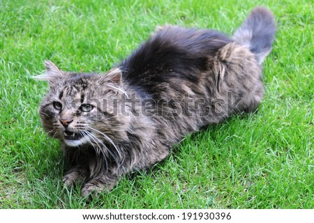 Angry threatening cat on the green grass