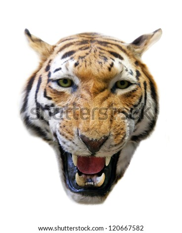 angry tiger isolated on white background - stock photo