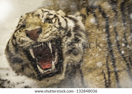 angry tiger looking to you through ice storm