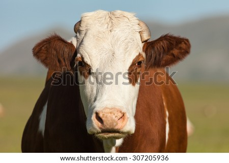 Angry white and brown cow close up portrait.  - stock photo