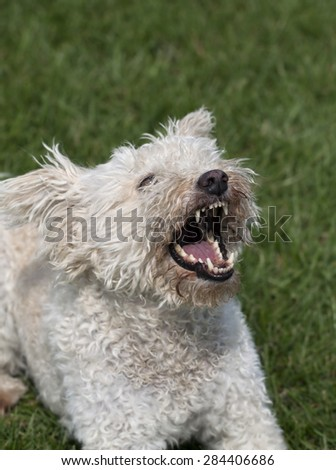 Angry white dog barking in the grass - stock photo