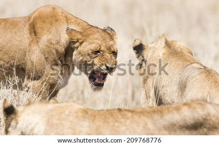 Angry wild lion in Africa - stock photo