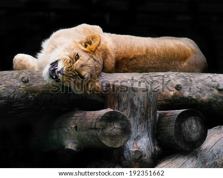 angry young lioness animal background - stock photo