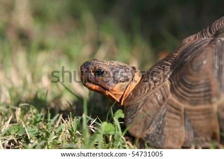 Angulate or Bowsprit tortoise portrait with green grass - stock photo